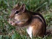Chipmunk with acorn