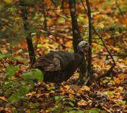 Turkey in leaves