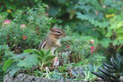 Chipmunk Garden
