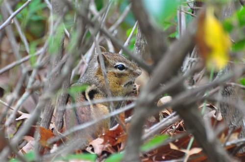Chipmunk in brush