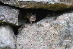 Chipmunk in rocks
