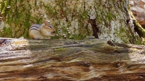 Chipmunk on a log