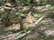 Chipmunk on ground
