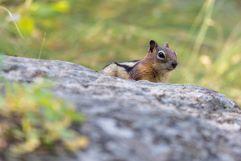 Chipmunk peeking